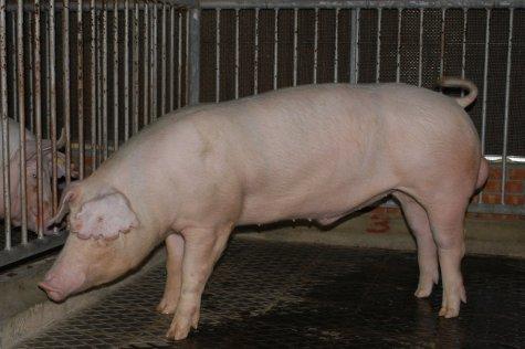中央畜產會200211期L0671-18體型-全身相片