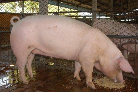 中央畜產會200211期L0873-05體型-全身相片