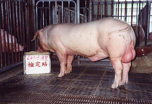 中央畜產會200301期L0037-03拍賣照片