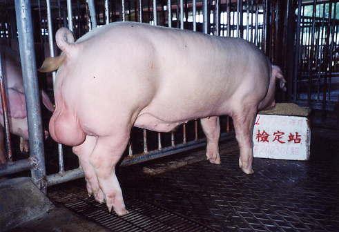 中央畜產會200301期L0697-15拍賣照片