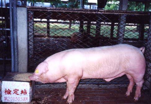 中央畜產會200303期L1136-02拍賣照片