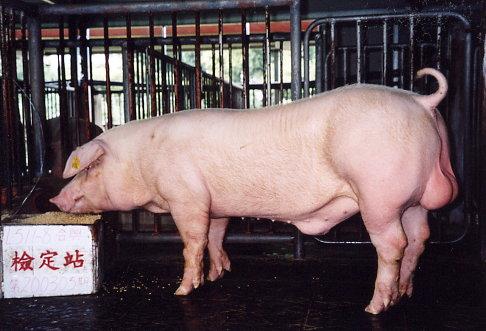 中央畜產會200305期L0511-08拍賣照片