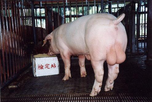 中央畜產會200305期L0743-15拍賣照片