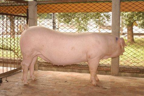 中央畜產會200305期L1004-11體型-全身相片
