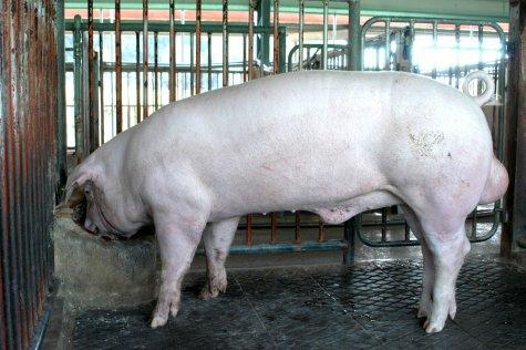中央畜產會200306期L0056-02體型-全身相片