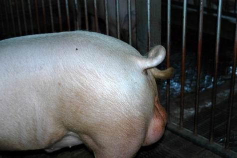 中央畜產會200309期L0999-01體型-尾根相片