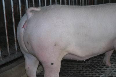 中央畜產會200311期L0624-06體型-四肢相片