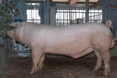 中央畜產會200311期L0815-16體型-全身相片