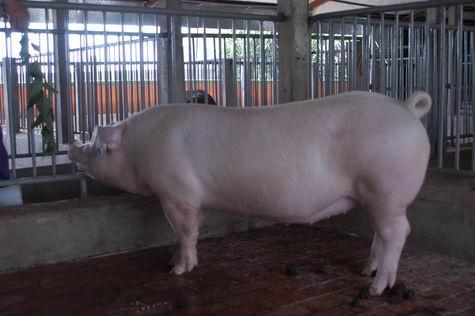 中央畜產會200312期L0641-01體型-全身相片