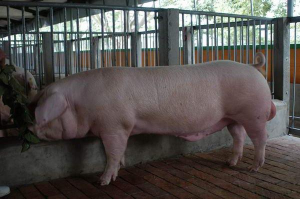 中央畜產會200406期L0021-10體型-全身相片