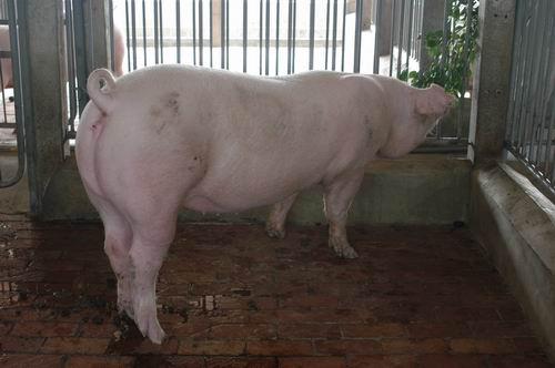 中央畜產會200407期L0764-04體型-全身相片