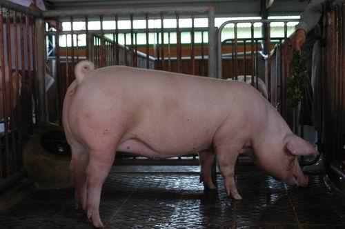 中央畜產會200409期L0813-02體型-全身相片