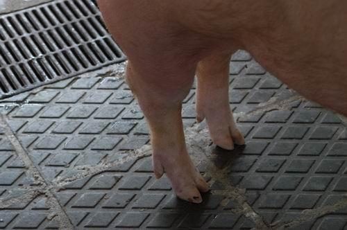 中央畜產會200409期L0964-08體型-四肢相片