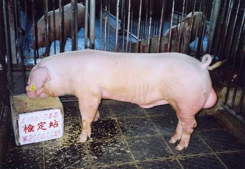 中央畜產會200409期L1041-02體型-全身相片