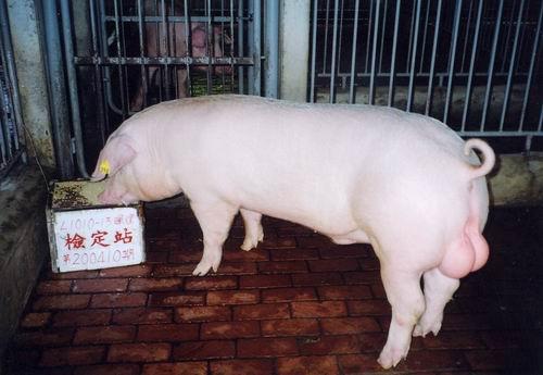 中央畜產會200410期L1010-13體型-尾根相片