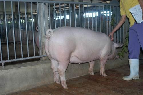 中央畜產會200411期L1051-14體型-體軀相片
