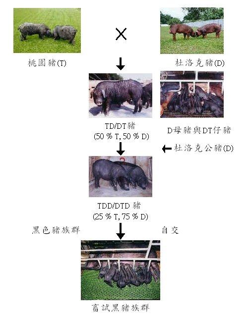 畜試黑豬一號選育流程圖 - 毛色固定 (畜試黑豬一號發表會專輯p16)