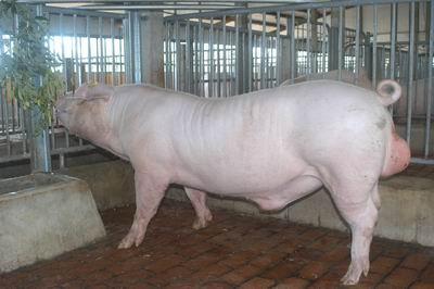 中央畜產會200501期L0428-09體型-全身相片