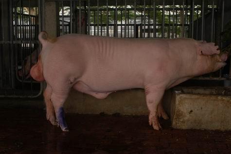 中央畜產會200503期L0651-01體型-全身相片
