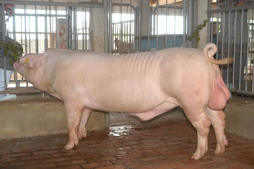 中央畜產會200504期L0667-14體型-全身相片