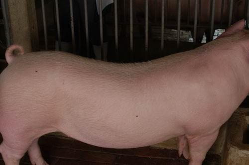 中央畜產會200504期L0966-01體型-體軀相片