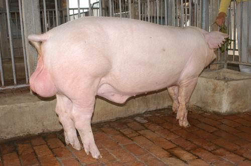 中央畜產會200504期L1098-12體型-全身相片