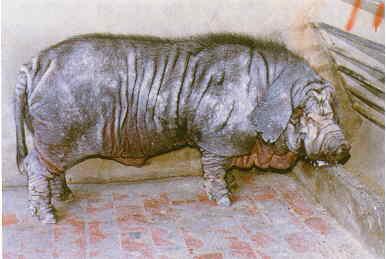 保種動物-桃園豬(畜牧場)