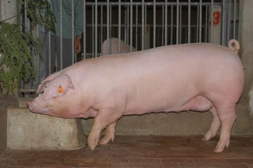 中央畜產會200505期L0995-01體型-全身相片