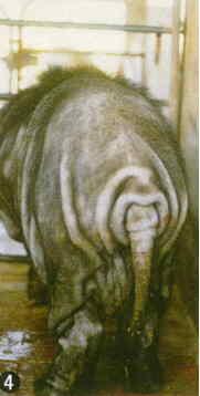 桃園豬-品種特徵(4)(畜產種原保存及利用手冊p5)