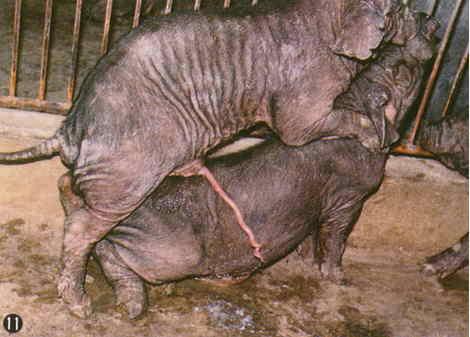 桃園豬-品種特徵(11)(畜產種原保存及利用手冊p6)