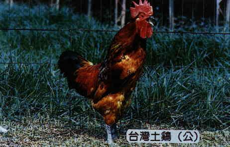 台灣土雞(公) (畜產種原保存及利用手冊p85)