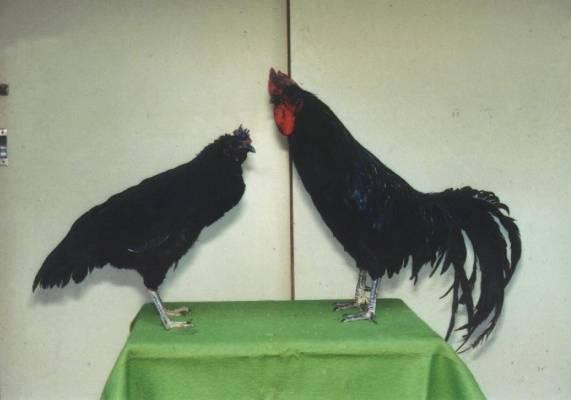 日本的本地雞種(APEC2003 p112)