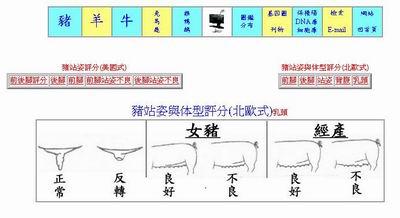 網路養豬-種豬站姿與體型評分/乳頭 p9