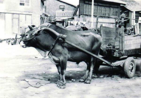 台灣黃牛(2)- 畜產生物品種資源 p1