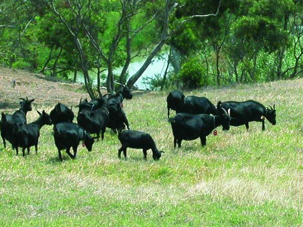 台灣黑山羊(1) - 畜產生物品種資源 p11