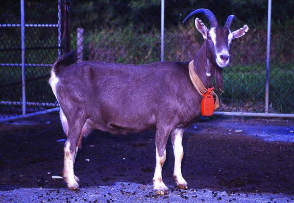 吐根堡種(Toggenburg)公羊  - 畜產生物品種資源 p14