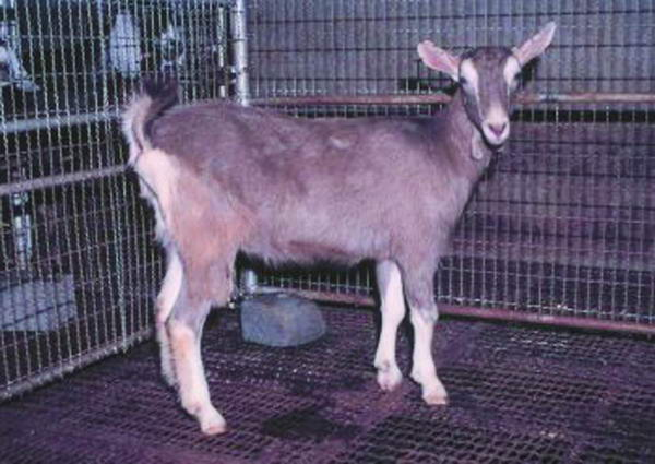 吐根堡種(Toggenburg)母羊  - 畜產生物品種資源 p14