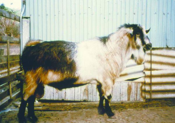 阿爾拜因(Alpine)(1) - 畜產生物品種資源 p14