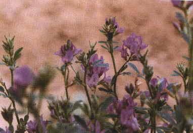 紫 花 苜 蓿(2)