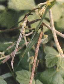 賽 芻 豆(3)