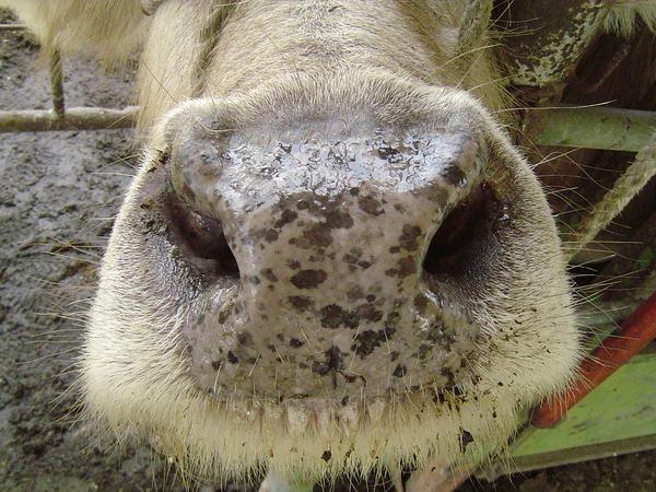 白群-耳號104-鼻部照片
