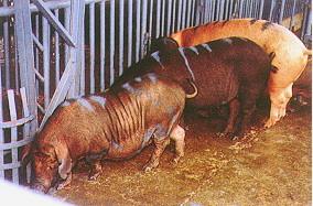桃園豬生長屠體調查 (3) (畜產種原庫及基因交流p6)