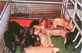 紅色系(75%D,25%T)(畜產種原庫及基因交流p8)