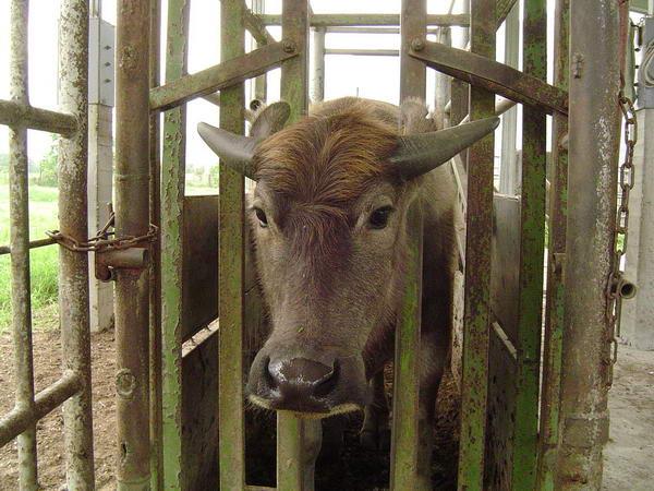 小牛試驗群-耳號404(2)-頭部照片