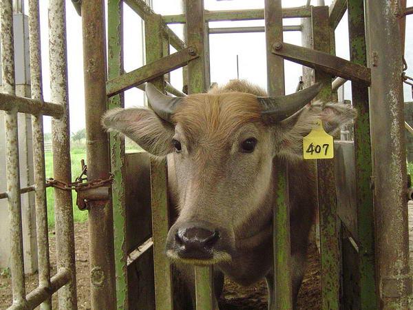 小牛試驗群-耳號407(1)-頭部照片
