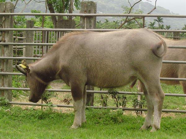 小牛試驗群-耳號408(2)-身體照片