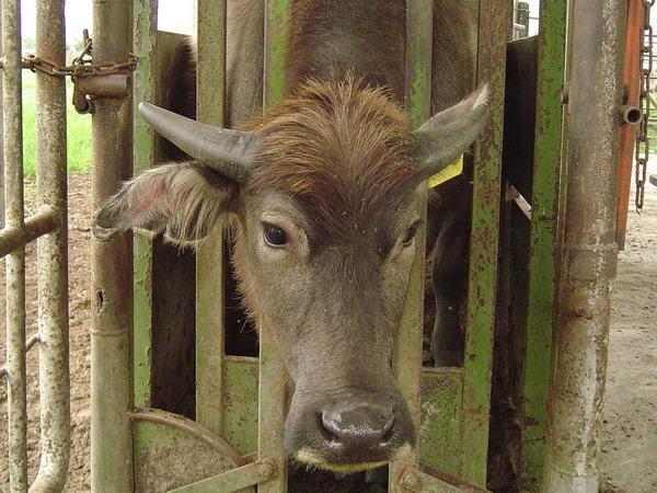 小牛試驗群-耳號410(2)-頭部照片