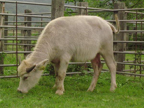 小牛試驗群-耳號412-身體照片