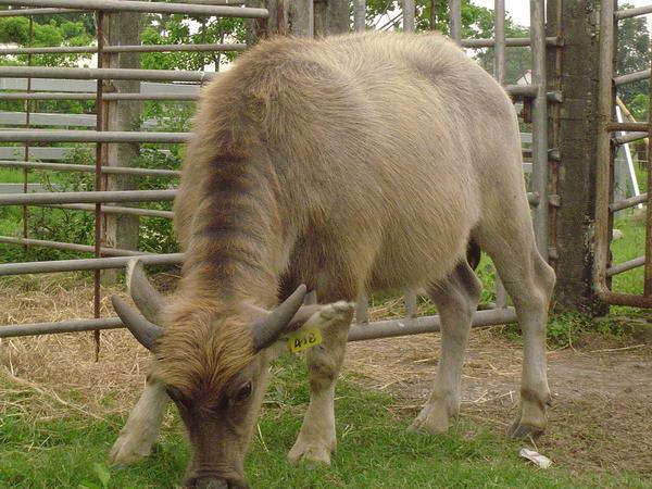 小牛試驗群-耳號418-身體照片(3)