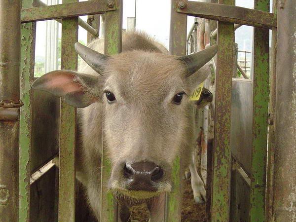 小牛試驗群-耳號419-頭部照片(1)